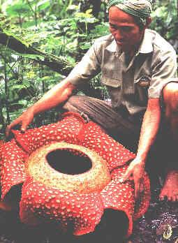 rafflesiacia.jpg