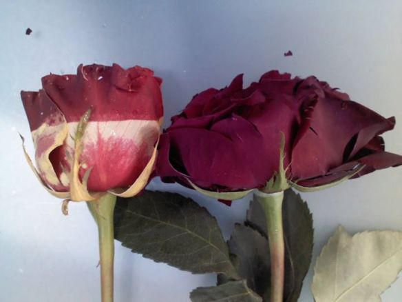 Rosa després de l'experiment de la decoloració (esquerra) i després de la congelació (dreta). Foto, Pep Duran